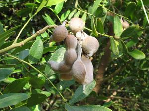 Плоды софоры японской для заживления швов